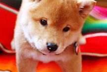 Shiba / Pet