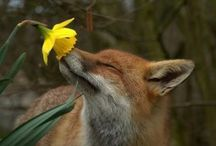 Foxes and Shibas / by Suzanne Hibbs
