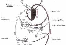 anatomie corps humain