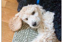 Poodle Dreamin