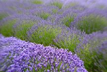 ✿ lavender road / by ☾ murasaki moon ☽