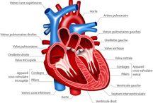 anatomie ducoeur