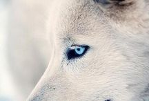 White and Grey Wolfs