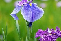 Paon iris