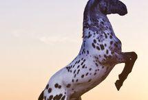 Photoshoot Appaloosa / Portrait photoshoot model and horses
