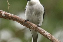 Birds-Tephrodornithidae / A new shrike family created in 2006 that includes the following genera: Tephrodornis, Philentoma, and Hemipus