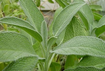 Sage Health Benefits and Side Effects