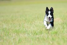 Border Collie / This is my Amy.