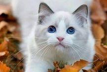 Valkoinen kissa