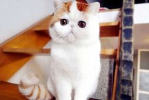 CatS ☆ Exotic, Scottish Fold, Abyssinian, Oriental, etc... / Exotic shorthair, Scottish Fold shorthair , Abyssinian, Oriental, British shorthair,
