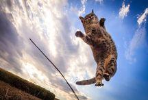 ЛЕТАЮЩИЕ КОШКИ. / Рассекающие воздух кошки с когтистыми лапами напоминают участников фильма о восточных единоборствах. Однако это всего лишь домашние любимцы японского фотографа Сэйдзи Мамия, прыгающие за мягкими игрушками. 39-летний японец начал фотографировать кошек во дворе своего дома около года назад. Когда мистер Мамия завоевал расположение животных, он понял, что может заставить их прыгать. Эта идея легла в основу его будущих фото-  работ.