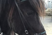 Vidar fra Vestergaard / Photos of the equine part of and horsepowers behind Team JayJay DK - Vidar the Icelandic Horse! Here's some info:  Full name: Vidar fra Vestergaard. Breed: Icelandic Horse. Birth year: 2007. Gender: Gelding (neutered male horse). Height: 13.3h / 135 cm to the shoulders. Gaits: Walk, trot, tölt, canter/gallop.