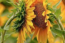 Zonnebloemen / Ter nagedachtenis aan mijn zus! Zonnebloemen samen met de klaproos MIJN bloemen zijn!