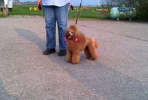 De kanjers, honden van Trimsalon Agouti Purmerend