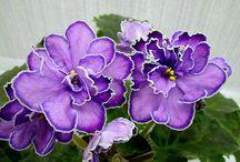 Violet Saint Paulia