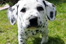 Dalmatian lover ❤️