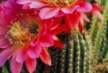 kaktus/mehik
