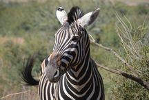 Pilanesberg National Park / Pics I have taken in my trips to the Pilanesberg National Park