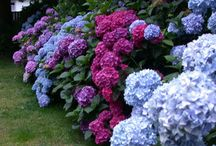 Hydrangea Gardens / Inspirational, beautiful hydrangea gardening ideas, concepts and layouts