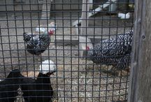 Chickens / by Janet Dalling