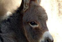 Donkey , æsler, Eeyore