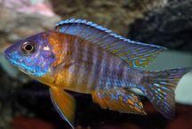 Cichlids Malawi