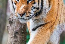 Tigers / by Adam Gomez
