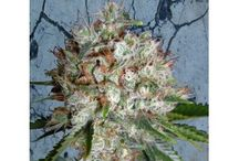 Feminized Cannabis Seeds / The collection of feminized marijuana seeds of Ministry of Cannabis