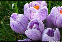 Kwiaty - Flowers / #kwiaty #flowers #polish flowers #polskie kwiaty #kwiatki #kwiaty ogrodowe #kwiaty polne #kwiaty leśne #przebiśniegi #śnieżyczki #pierwiosnki #kwiaty wiosenne #wiosna #spring #krokusy #przebiśniegi #hiacynty #przyroda #natura #kwiaty wiosenne #spring flowers #polish flowers #Polskie kwiaty #ogród #ogrodnictwo #garden flowers #tulipany #szafran wiosenny #Flora