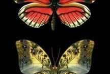 Butterfly colection