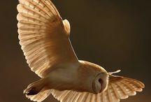 Owls-