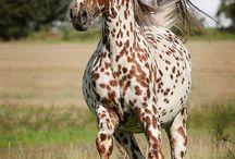 Лошади породы уокалуза (Walkaloosa Horse) / Название породы происходит от сложения двух слов: Walkaloosa = Walk + Appaloosa, т.е. хода + аппалуза (или амер. чубарая масть). Как легко догадаться по названию, это аллюрная порода, отличающаяся чубарой мастью.