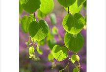 Hjertetre / Cercidiphyllum japonicum
