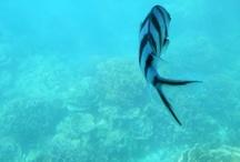 scissorfish