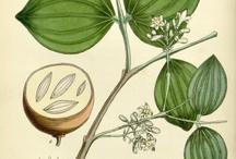 Medicinal botanica
