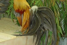 Roosters and other majestic birds
