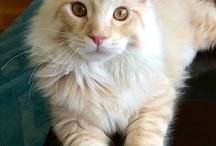 maine coon / this cat is sooo gorgeous