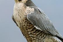 falcons eagle