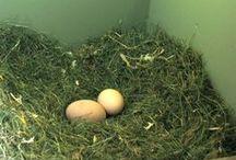 Chicken: nest box