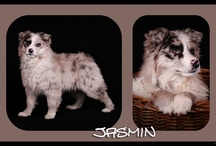 Raising Australian Shepherds / A way for me to show off my dogs. / by Therese Leiszler