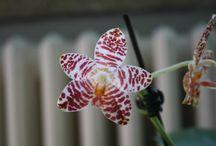 Phalaenopsis hieroglyphica & hybr