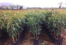 planta de aguacates hass / cultivo y venta de plantas de aguacate hass  Cel. 4521114224 nextel 32*15*30623 uruapan michoacán méxico plantadeaguacates.com