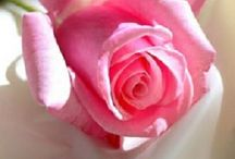Rose love / In God i see many things but in roses,even in death absolute beauty.Color coded expressing emotions....oh what would we do without exquisite roses