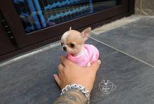 Teacup Chihuahua