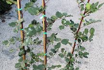 Carrubo - Carob / Vendita Online Piante di Carrubo in vaso - Sale Online Carob Trees in pot