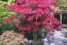 Japanese maples ❤️