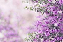 lila mor