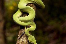 australian snakes