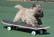 Cairn Terriers / Accomplished beggars and prone to manias. See also Louise and Chili & Winston boards.