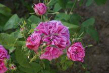 Rosiers Cent-feuilles (rosa centifolia) / Ces rosiers sont le fruit de croisements divers effectués en Hollande au XIVe siècle. Leur port est souple et évasé, les rameaux sont garnis d'aiguillons de taille variable. Les fleurs sont souvent lourdes et globuleuses, au parfum intense. Très rustiques. Floraison non remontante. Rosa centifolia a produit par mutation une autre famille de roses anciennes, les rosiers mousseux.
